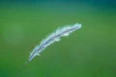 发光的草棉花特写镜头 图库摄影