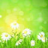 发光的草草坪和春黄菊平的传染媒介背景 免版税图库摄影