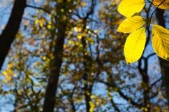 发光的金黄山毛榉叶子 库存图片