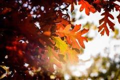 发光的阳光,虽然赤栎在秋天离开 库存图片