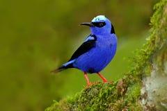 发光的Honeycreeper, Cyanerpes lucidus,与黄色腿的异乎寻常的热带蓝色鸟从哥斯达黎加 在自然habi的蓝色歌手 免版税库存照片