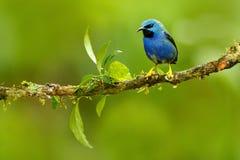 发光的Honeycreeper, Cyanerpes lucidus,与黄色腿,哥斯达黎加的异乎寻常的热带蓝色唐纳雀 在自然习性的蓝色歌手 免版税库存照片