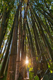 发光通过一个竹森林的太阳 图库摄影