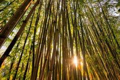 发光通过一个竹森林的太阳 库存图片
