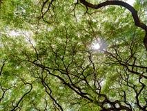 发光通过一棵大树的机盖的太阳 免版税库存图片