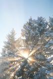 发光通过多雪的树梢的光束在一个冷的冬天早晨 免版税图库摄影