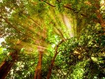 发光通过大绿色树的早晨阳光在森林里 免版税库存图片