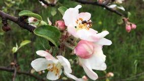 发光通过开花苹果树分支的太阳 股票视频