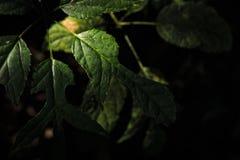 发光通过放热绿色叶子的太阳 免版税库存图片