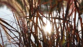 发光通过早晨草的太阳。 影视素材