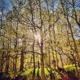 发光通过树的光在森林里 免版税库存图片