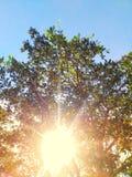 发光通过树的太阳在一个绿色草甸 免版税库存图片