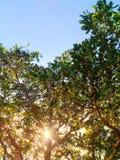 发光通过树的太阳在一个绿色草甸 库存图片