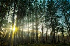 发光通过树的太阳在森林里 免版税图库摄影