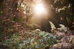 发光通过树的太阳在秋天森林地 库存图片