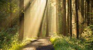 发光通过树的金黄光束在美丽的英国森林地森林里 库存图片