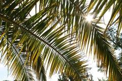 发光通过棕榈叶的太阳 库存图片