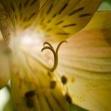 发光通过现出轮廓的光和阴影手枪和雄芯花蕊后面被点燃的黄色黄花菜 库存照片