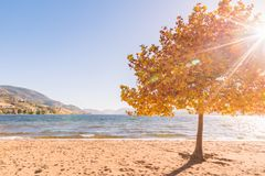 发光通过秋叶在与湖的槭树和山的太阳在背景中 库存照片