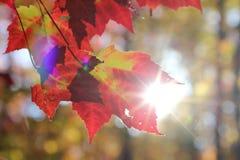 发光通过秋叶的太阳 免版税库存照片