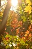 发光通过秋天色的树的阳光 免版税库存图片
