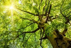 发光通过老山毛榉树的太阳 免版税库存图片