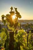 发光通过葡萄树叶子的日落太阳HDR照片在Vysehrad葡萄园在布拉格,捷克共和国 免版税图库摄影