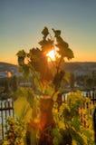发光通过葡萄树叶子的日落太阳HDR照片在Vysehrad葡萄园在布拉格,捷克共和国 图库摄影