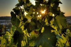 发光通过葡萄树叶子的日落太阳HDR照片在Vysehrad葡萄园在布拉格,捷克共和国 免版税库存图片
