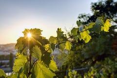 发光通过葡萄树叶子的日落太阳HDR照片在Vysehrad葡萄园在布拉格,捷克共和国 免版税库存照片