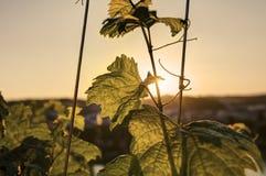 发光通过葡萄树叶子的日落太阳HDR照片在Vysehrad葡萄园在布拉格,捷克共和国 库存照片