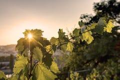 发光通过葡萄树叶子的日落太阳HDR照片在Vysehrad葡萄园在布拉格,捷克共和国 库存图片