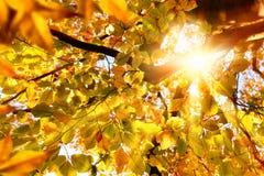 发光通过金黄叶子的太阳 免版税图库摄影