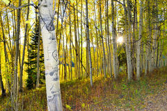 发光通过高黄色和绿色白杨木的太阳在森林里在叶子季节期间 免版税库存照片