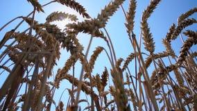 发光通过麦子小尖峰的太阳 股票录像
