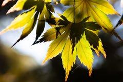 发光通过黄绿色枫叶的太阳 免版税图库摄影