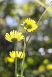 发光通过黄色花的太阳 免版税库存图片