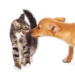 发出嘘声在小狗的小猫 免版税库存照片