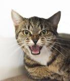发出嘘声在照相机的猫 免版税图库摄影