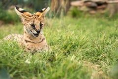 发出嘘声在绿草的一只幼小薮猫 免版税库存图片