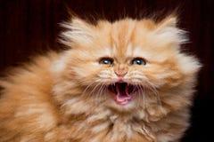 发出嘘声小猫 免版税库存照片