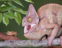 发出嘘声的变色蜥蜴 免版税库存照片