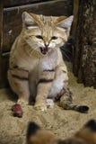 发出嘘声的沙猫 免版税库存图片