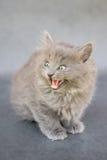 发出嘘声的灰色小猫 库存照片