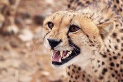 发出嘘声的猎豹 库存图片