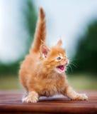 发出嘘声红色缅因浣熊的小猫 免版税库存照片