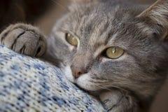 发出愉快的声音的猫 免版税库存图片