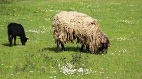 发咩声灯和母亲绵羊吃草充满幸福 免版税库存照片