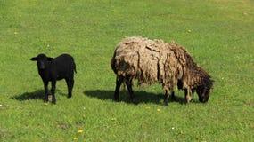发咩声灯和母亲绵羊吃草充满幸福 库存照片