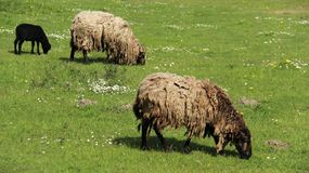 发咩声灯和母亲绵羊吃草充满幸福 图库摄影